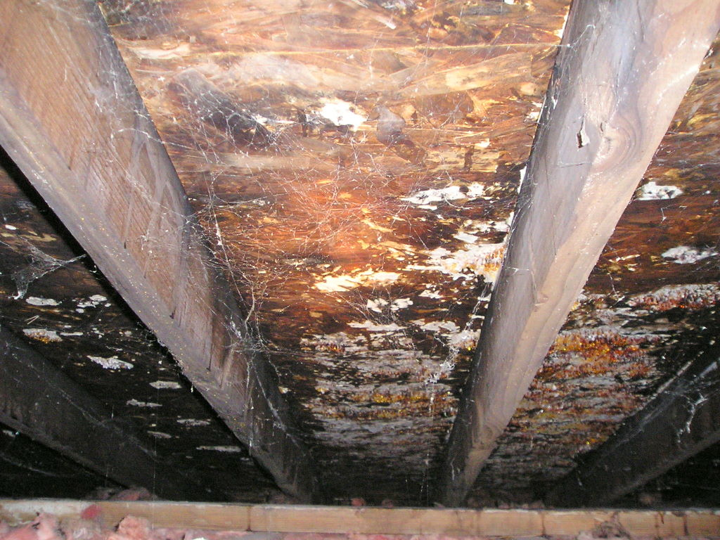 Extreme mold, mildew and fungus in attic
