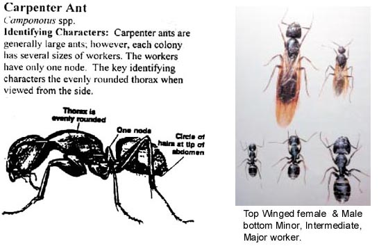 how to find carpenter ant colony